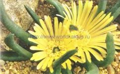 Glottiphyllum arrectum