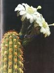Haageocereus acranthus