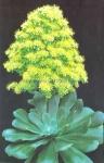 Aenium arborerum