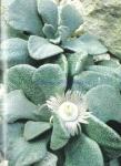 Aloinopsis rosulata
