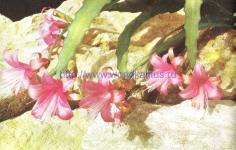 Chiapasia nelsonii