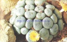 Conophytum flavum