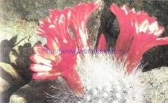 Mammillopsis senilis