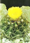 Notocactus megapotamicus