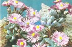 Oscularia caulescens