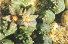 Piaranthus foetidus var diversus