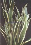 Sansevieria trifasciata var laurentii