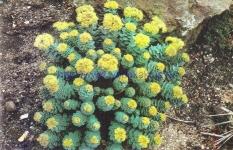 Sedum roseum