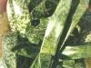 Gasteria liliputana