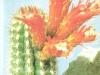 Borzicactus humboldtii