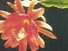 Epiphyllum peacockii