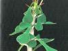 Euphorbia bevilaniensis