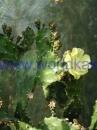 opuntia-anacantha
