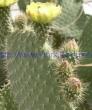opuntia-leucotricha-dc