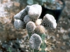 austrocylindropuntia-clavarioides