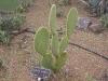 opuntia-scheeri
